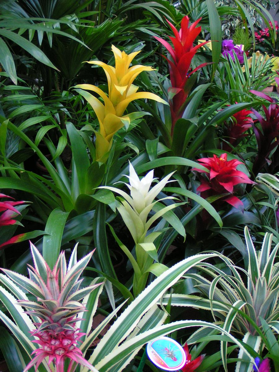bildtafeln zierpflanzen bromelien ananasgew chse benediktinerabtei maria laach. Black Bedroom Furniture Sets. Home Design Ideas