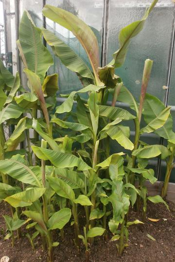 pflegeanleitungen bananenstauden musa acuminata syn musa cavendishii musa zebrina etc. Black Bedroom Furniture Sets. Home Design Ideas